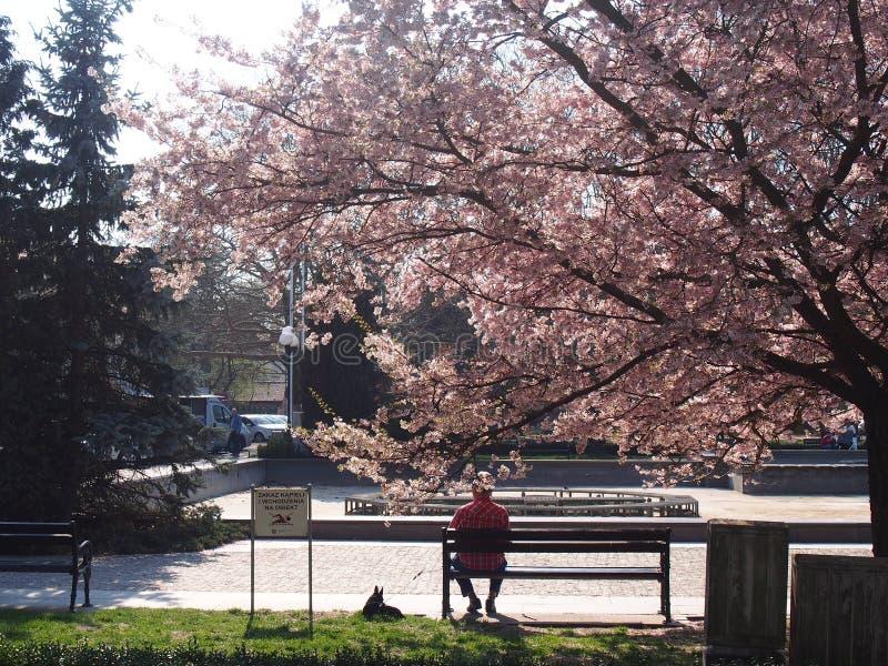 Fleurs de cerisier en parc européen photos libres de droits