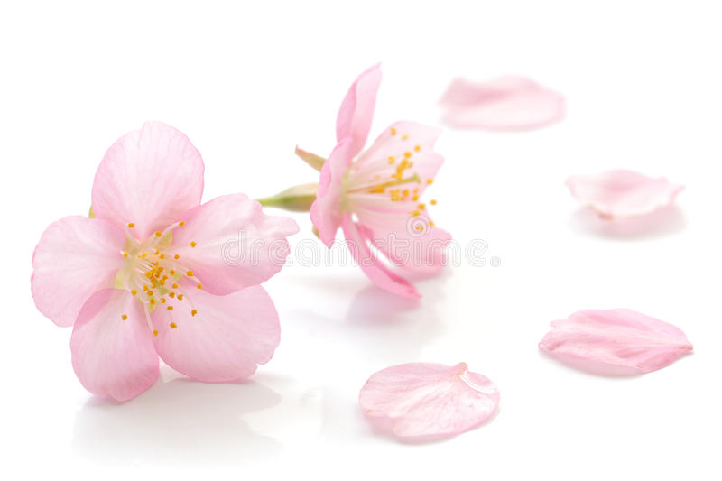 Fleurs de cerisier et pétales japonais 2 photographie stock libre de droits