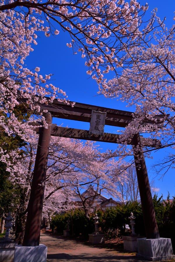 Fleurs de cerisier et Torii de tombeau de Fuji Omuro Sengen de lac Kawaguchi Japon photos libres de droits