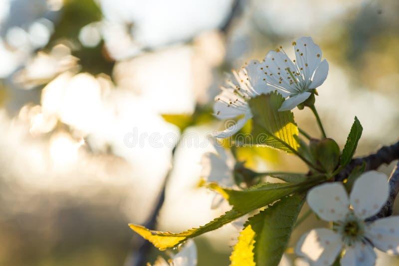 Fleurs de cerisier fleurissant au printemps photo stock image du conception lumi re 63677208 - Greffe du cerisier au printemps ...