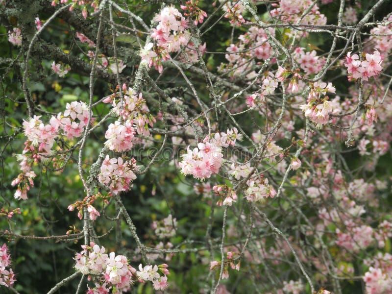 Fleurs de fleurs de cerisier de forêt naturelle photographie stock libre de droits