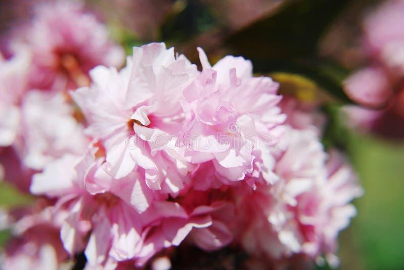 Fleurs de cerisier japonaises au printemps image stock image du stationnement jardin 28755821 - Greffe du cerisier au printemps ...