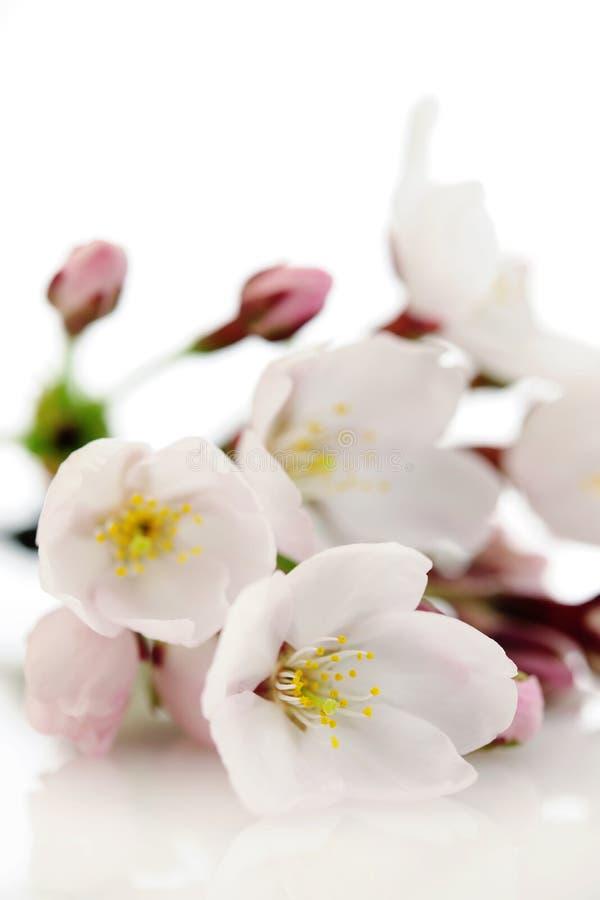 Fleurs de cerisier japonaises photos stock