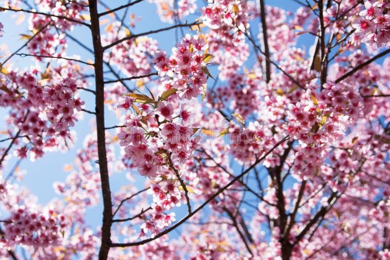 Fleurs de cerisier de l'himalaya sauvage avec fond de ciel bleu Les fleurs de sakura thaïlandais images libres de droits