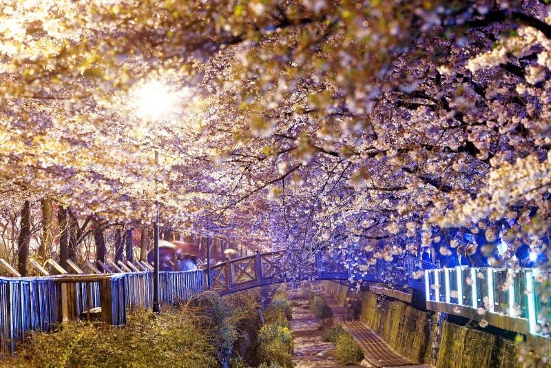 Fleurs de cerisier la nuit image stock