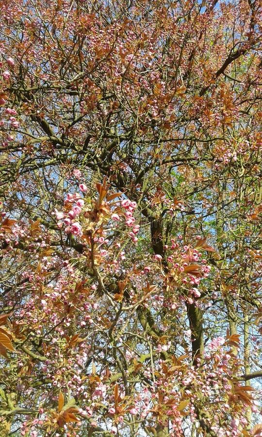 Fleurs de cerisier ornementales roses de Sakura photographie stock libre de droits