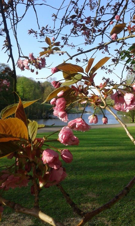 Fleurs de cerisier ornementales roses de Sakura image libre de droits