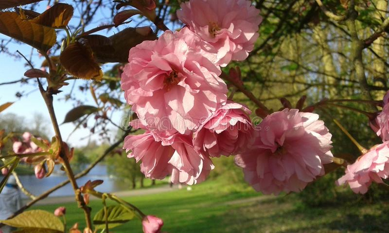 Fleurs de cerisier ornementales roses de Sakura photo stock