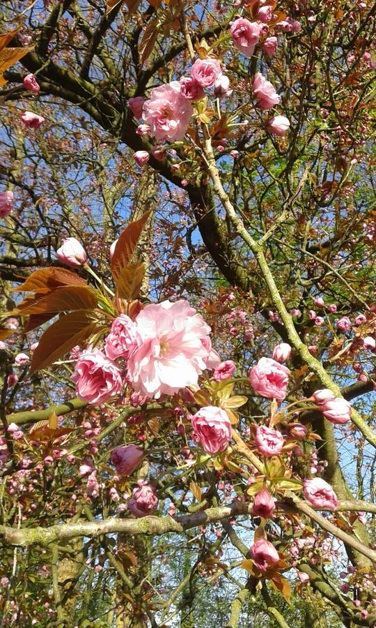 Fleurs de cerisier ornementales roses de Sakura photos libres de droits
