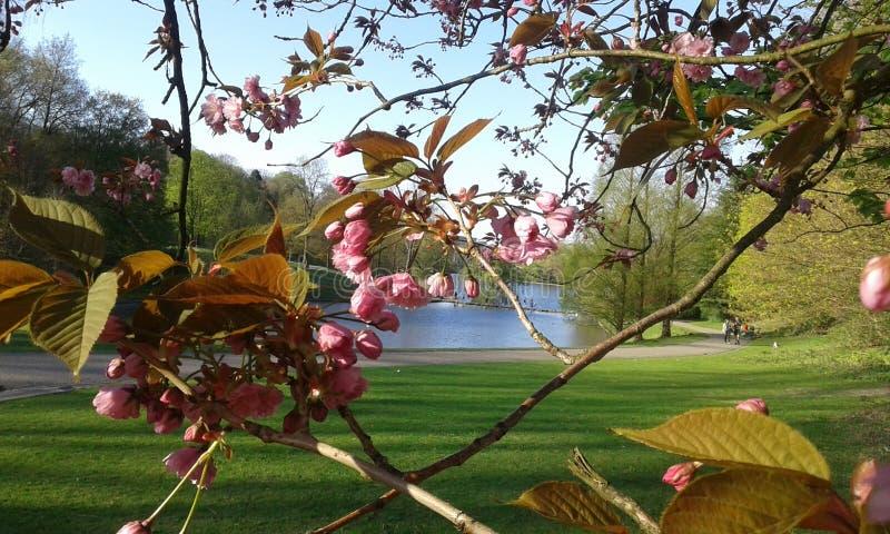 Fleurs de cerisier ornementales roses de Sakura photos stock
