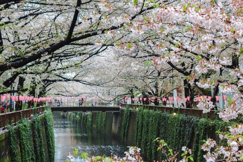 Fleurs de cerisier ou Sakura au canal de Meguro photographie stock