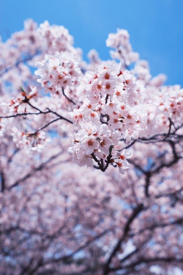 Fleurs de cerisier ou Sakura avec le ciel bleu photo libre de droits