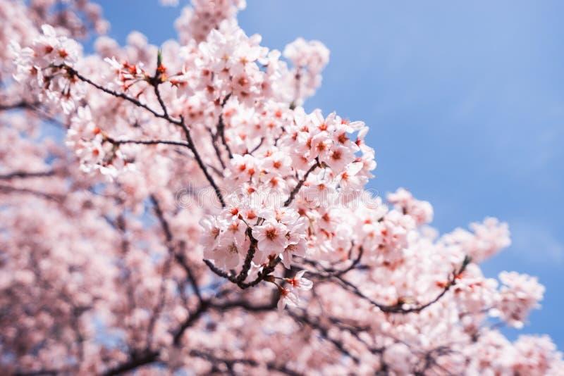 Fleurs de cerisier ou Sakura avec le ciel bleu photos stock