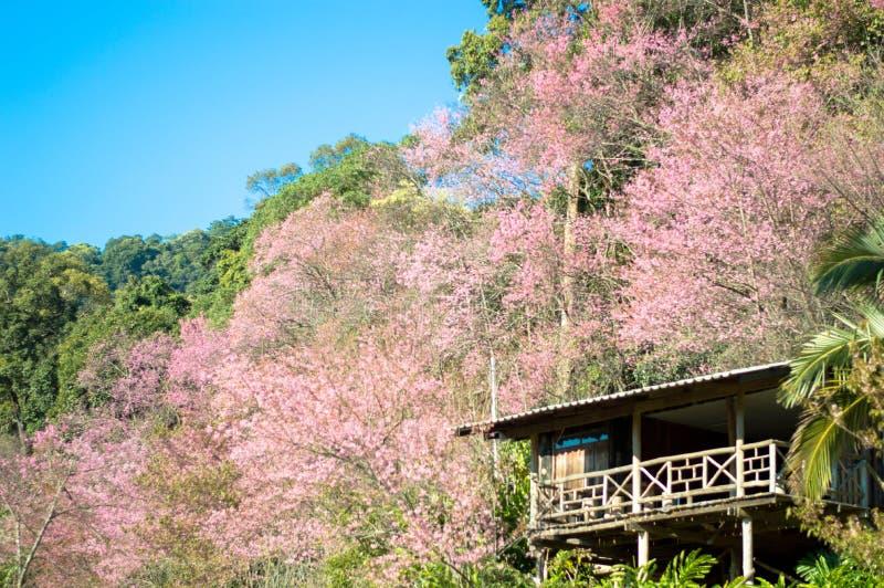Fleurs de cerisier ou fleurs de Sakura avec le ciel bleu photo libre de droits