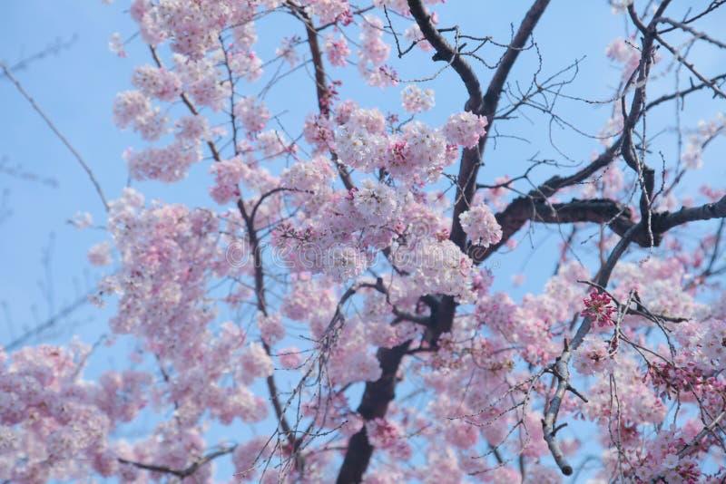 Fleurs de cerisier ou sakura la saison d 39 arbre au printemps au parc belles fleurs roses de - Greffe du cerisier au printemps ...