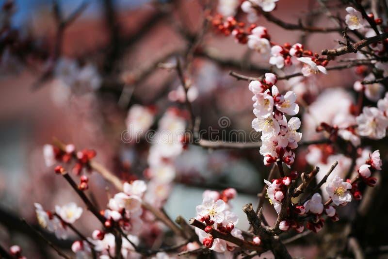 Fleurs de cerisier ou Sakura roses d'amande photographie stock libre de droits