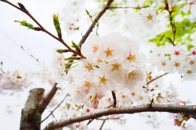 Fleurs de fleurs de cerisier pendant l'été image libre de droits