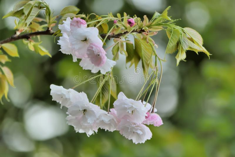 Fleurs de cerisier de pivoine image stock