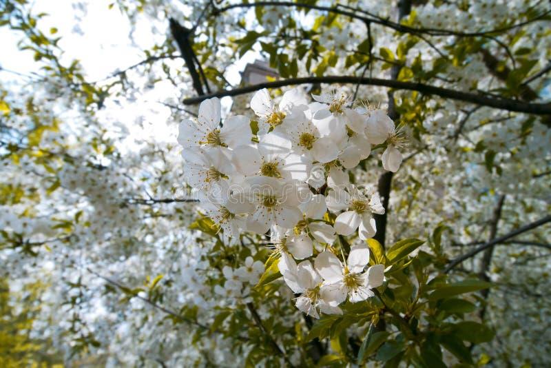 Fleurs de cerisier, prunus cerasus, macro photo des fleurs tendres blanches au printemps, profondeur de champ photographie stock libre de droits