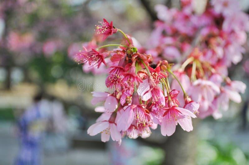 Fleurs de cerisier roses à Tokyo, Japon images libres de droits