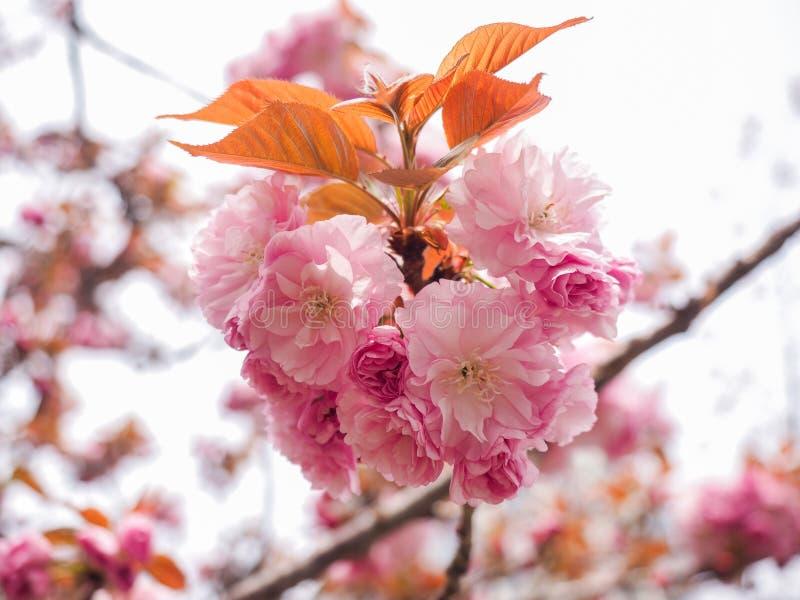 Fleurs de cerisier roses avec le fond brouillé image stock