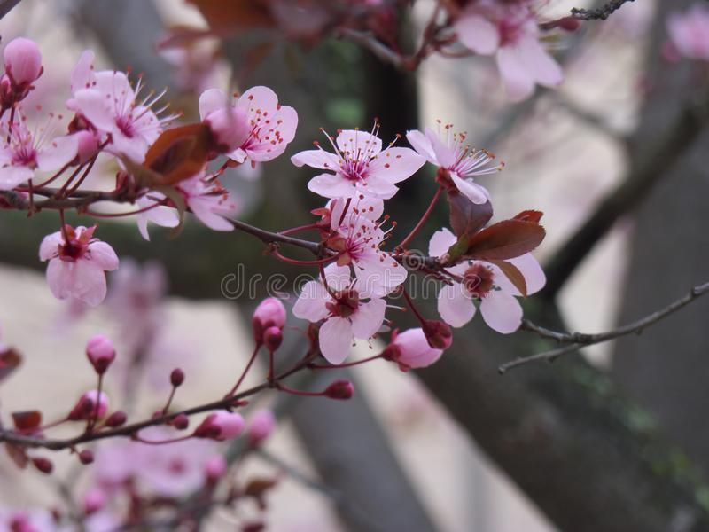 Fleurs de cerisier roses, branche de fleurs de cerisier dans le style japonais photo libre de droits