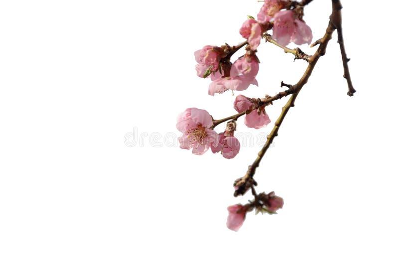 Fleurs de cerisier roses du Japon images stock