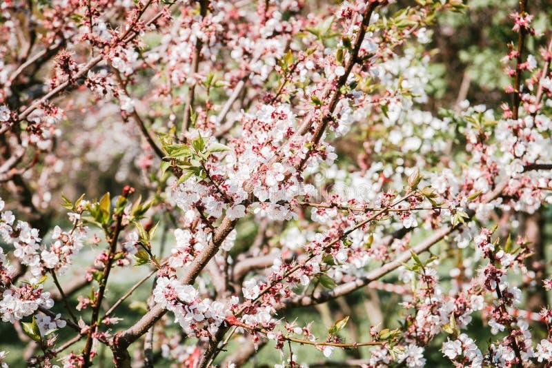 Fleurs de cerisier s'?levant dehors sous un ciel bleu ensoleill? sur un lit de fleur dans un jardin saisonnier color? photo libre de droits