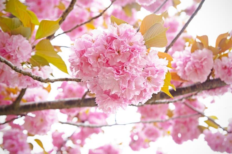 Fleurs de cerisier, Sakura photographie stock