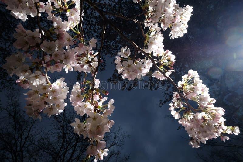 Fleurs de cerisier, Sakura dans le Japonais, la nuit à Tokyo, le Japon photographie stock