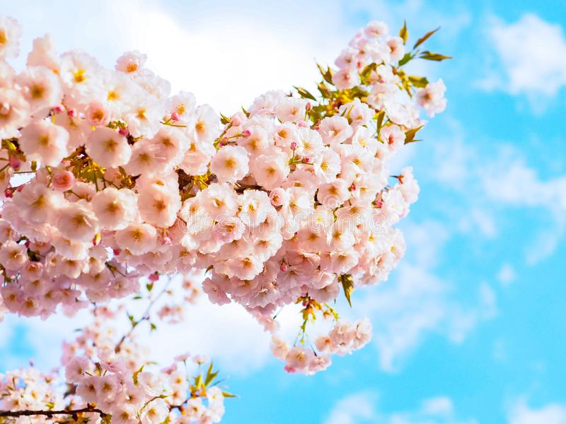 Fleurs de cerisier Sakura fleurissant au printemps saison du Japon photo libre de droits