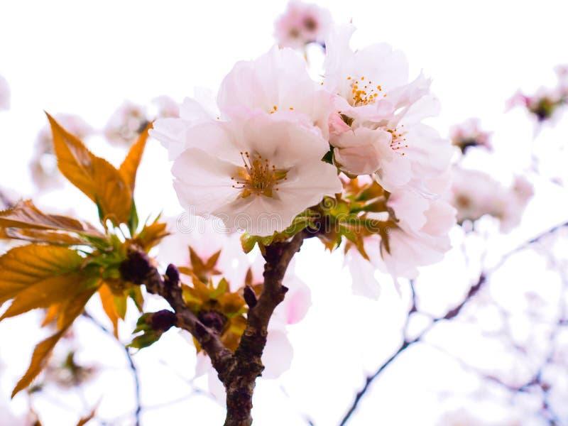 Fleurs de cerisier Sakura fleurissant au printemps saison du Japon images libres de droits