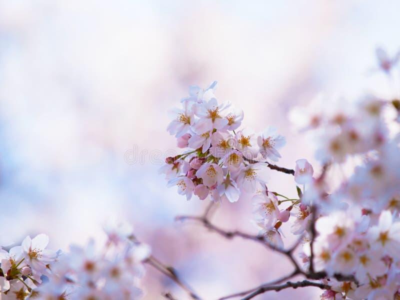 Fleurs de cerisier sous la lumière chaude de ressort photos stock