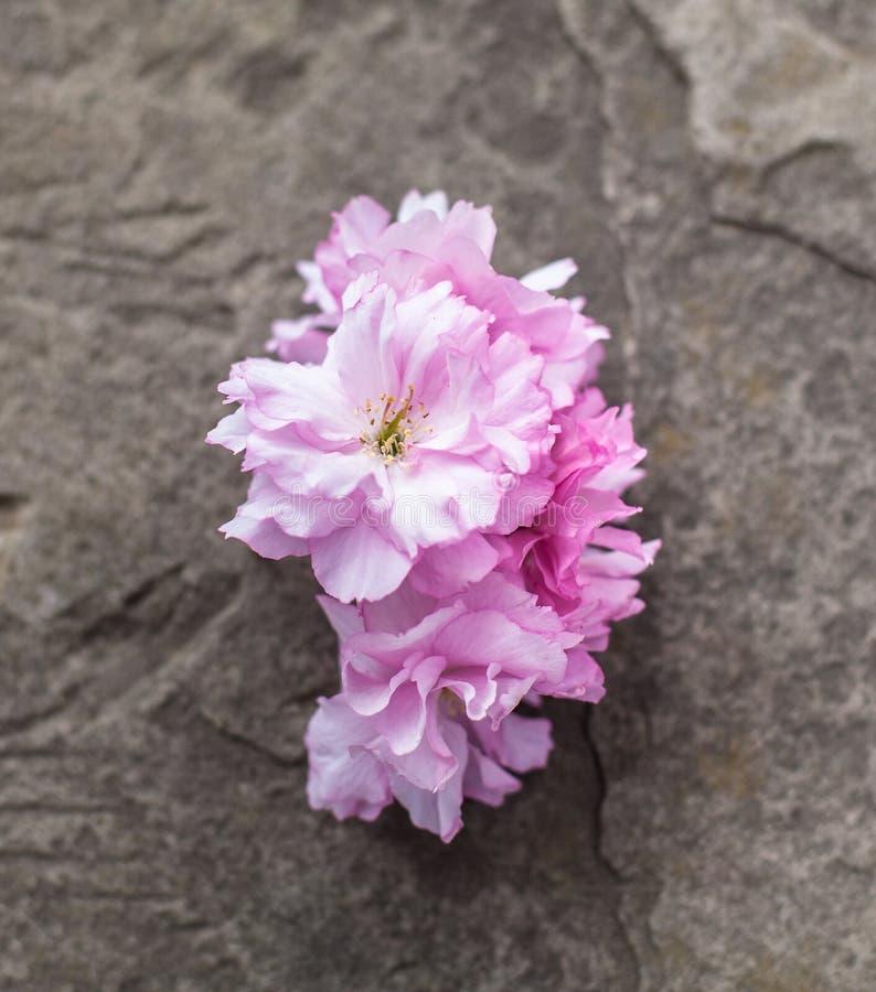 Fleurs de cerisier sur l'ardoise grise image stock
