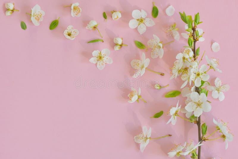 Fleurs de cerisier sur le fond rose photo stock