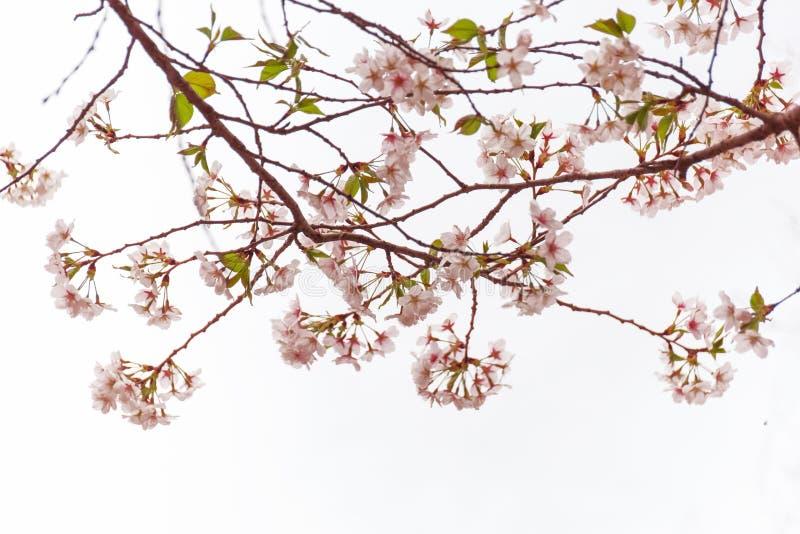 Fleurs de cerisier sur un fond blanc, pâle - fleurs, élégant rose et pur photo libre de droits
