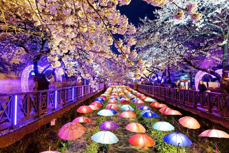 Fleurs de cerisier, ville de Busan en Corée du Sud image libre de droits