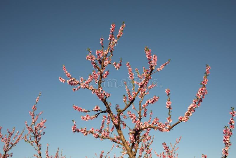 Fleurs de champ de pommiers au printemps dans les Pyrénées-Orientales, France images libres de droits