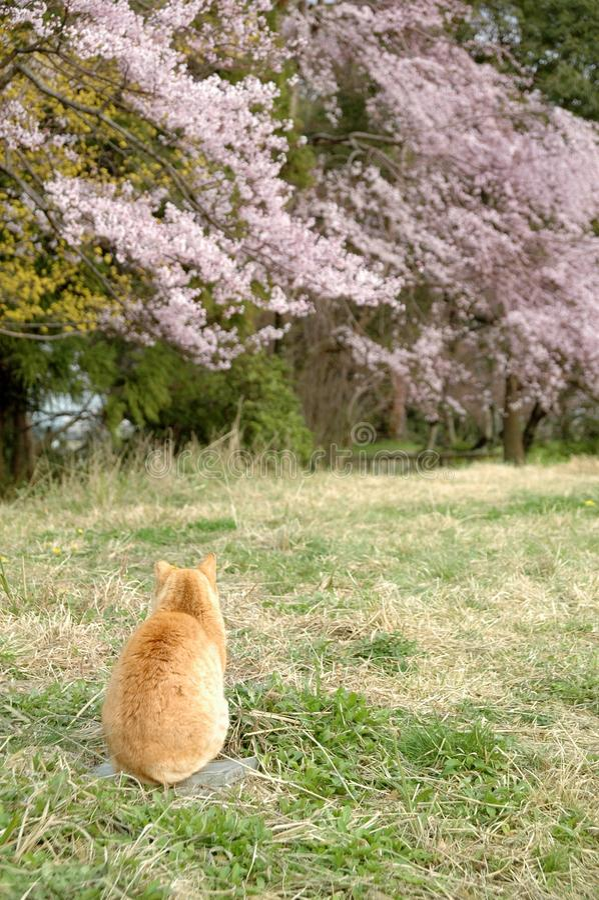 Fleurs de chat et de cerise photographie stock