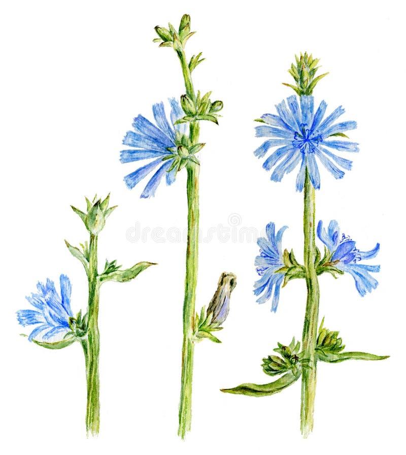 Fleurs de chicorée d'aquarelle illustration libre de droits