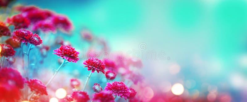 Fleurs de chrysanthème fleurissant dans un jardin Fleurs d'automne de beauté photographie stock libre de droits