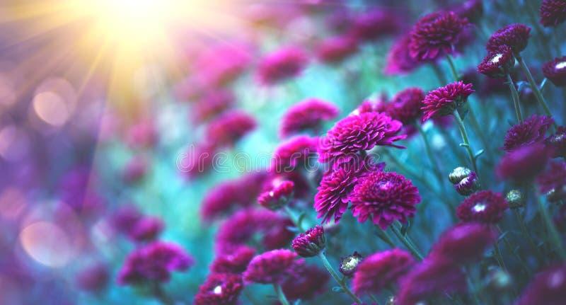 Fleurs de chrysanthème fleurissant dans un jardin Fleurs d'automne de beauté photos libres de droits