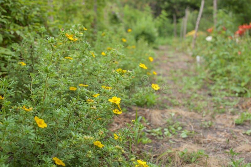 Fleurs de cinquefoil de jaune de Bush dans le jardin photos stock