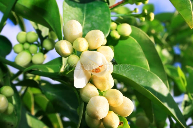 Fleurs de citron photo stock