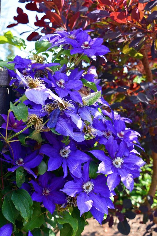 Fleurs de clématite pourprée photo stock