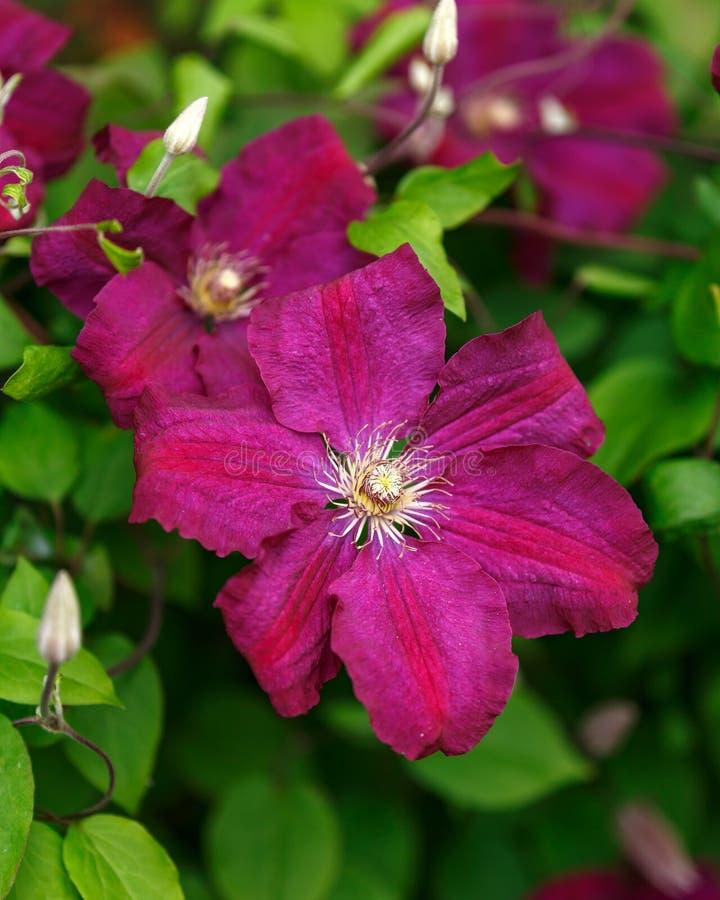 Fleurs de clématite pourpre fleurissant dans le jardin d'été photo stock