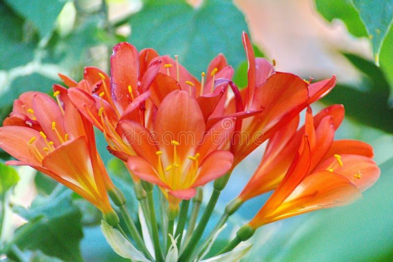Fleurs de Clivia à Cape Town photo stock