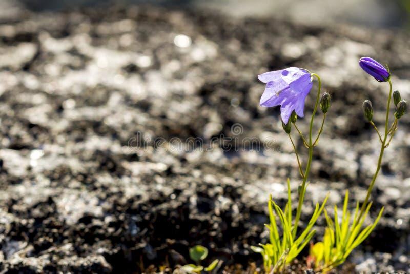Fleurs de cloche pourpres sauvages dans la toundra au printemps photos libres de droits