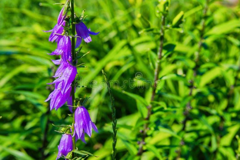 Fleurs de cloches pourpres de Cantorb?ry, paysage Cloches pourpres sur un fond de vert photo libre de droits