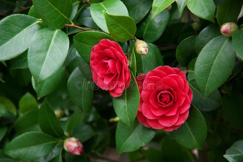 Fleurs de cognassier du Japon de camélia photos libres de droits